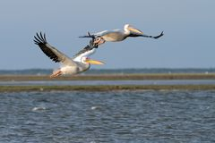 Two great pelicans in flight over the lagoon Royalty Free Stock Photography