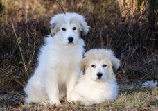 Two Great Pyrenees Puppies Stock Photography