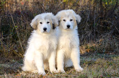 Two Great Pyrenees Puppies Stock Image