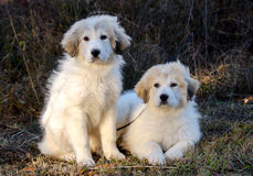 Two Great Pyrenees Puppies Royalty Free Stock Photography