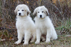 Two Great Pyrenees Puppy royalty free stock images