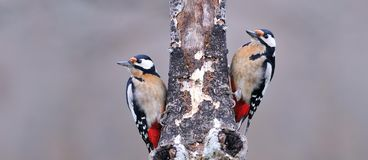 Two great spotted woodpecker perched. stock photo