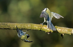 Two great tit. S haven a disagreement Stock Image