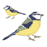 Two great tits birds. Vector illustration on white background. Hand drawn couple of great tits birds on white background. Two birds with green, blue and yellow royalty free illustration