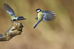 Great tits flying Royalty Free Stock Images