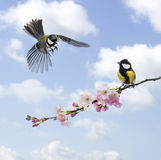 Two Great tits, clouded sky, flowering branch Royalty Free Stock Photography