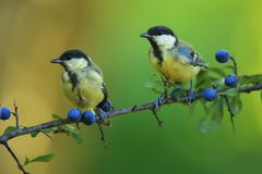 Two great tits on blackthorn. Two great tits sitting on branch of blackthorn in the garden Stock Image