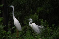 Two great white egrets, ardea alba, on the branches Royalty Free Stock Image