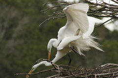Two great white egrets mating in Georgia. Stock Photo