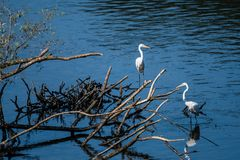 Two great white egrets sharing a pile of drift wood Royalty Free Stock Photos