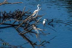 Two great white egrets sharing a pile of drift wood Stock Photos