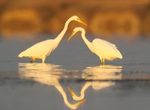 Two Great white heron close up in red morning light. Royalty Free Stock Images