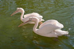 Two Great White Pelicans Stock Images