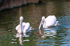 Two Great White Pelicans Stock Photography