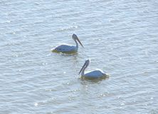 Two Great White Pelicans Pelecanus Onocrotalus floating on Water Surface Stock Image