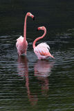 Two Greater Flamingo standing Stock Image