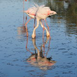 Two greater flamingoes crossing legs and necks Royalty Free Stock Images