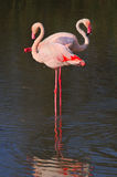 Two greater flamingoes standing single-legged. Two greater flamingoes (Phoenicopterus roseus) standing single-legged in shallow water Stock Images