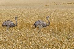 Two greater rheas Royalty Free Stock Photos