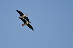 Two Greater White-Fronted Geese Demonstrating Synchronized Flying. In a Clear Sky Stock Image