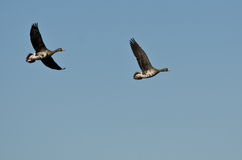 Two Greater White-Fronted Geese Flying in a Blue Sky Royalty Free Stock Image
