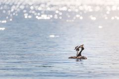 Two grebes podiceps cristatus swimming on the lake royalty free stock photography