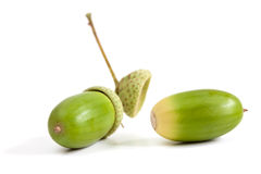 Two green acorn fruits. Two green acorn fruits isolated on white background Stock Images