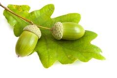 Two green acorn fruits. Two green acorn fruits isolated on white background Royalty Free Stock Photos