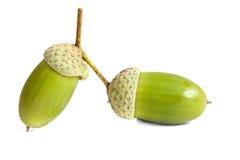 Two green acorn fruits. Two green acorn fruits isolated on white background Stock Photos