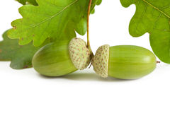 Two green acorn fruits. Royalty Free Stock Photos