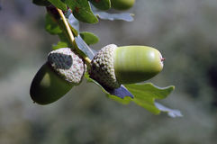Two green acorns. The first sign of autumn, closeup of an acorn. Autumn card Royalty Free Stock Photography