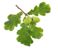 Two green acorns with four leaves Stock Image