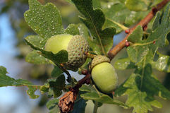 Two green acorns with water drops. The first sign of autumn, closeup of an acorn on an early morning you can still see the dew. Autumn card Royalty Free Stock Image