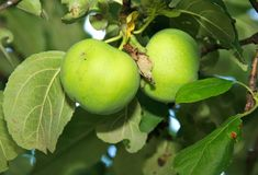 Two green apples on the apple tree Royalty Free Stock Photos