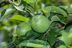 Two green apples growing on the tree Stock Photos