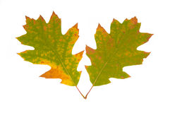 Two green autumn leaves Stock Photo