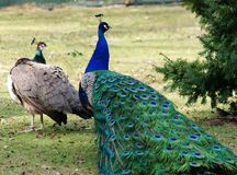 Two Green beautiful peacocks Royalty Free Stock Photos