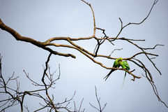 Two green birds cuddling on a tree branch. Royalty Free Stock Images