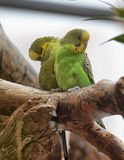 Two green budgies Stock Photography