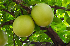Two green Calabash Stock Photography