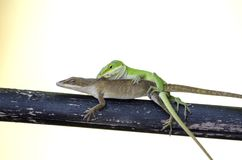 Mating Chameleon Green Anole Lizards, Georgia USA Royalty Free Stock Photos