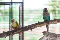 Two green cheek conure. Standing on perch royalty free stock image