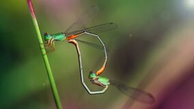 Free Two Green Colorful Damselfly Mating, Macro Photography Of This Small Gracious Odonata. Nature Scene  Stock Photos - 190206963