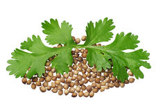 Two green coriander leaves and seeds Royalty Free Stock Image