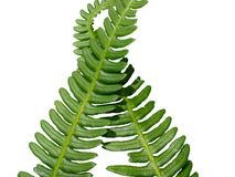 Two green crossed frond ferns Stock Image