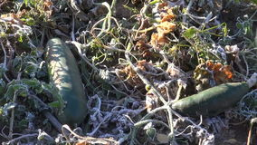 Two green cucumbers in frosted vegetable garden stock video footage
