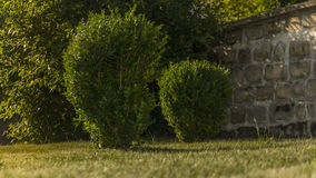 Two green cut shrubs royalty free stock images