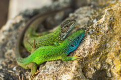 Two green emerald glossy geckos lizards on a rock Stock Image
