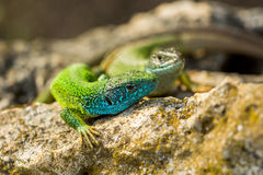 Two green emerald glossy geckos lizards on a rock Royalty Free Stock Photography