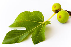 Two green figs and a leaf. Two growing figs attached to a fig leaf showing the leaf feeding the fruits by photosynthesis. on white Royalty Free Stock Photos